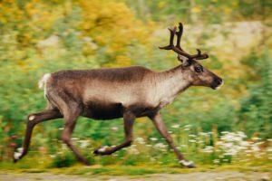 бегущий олень