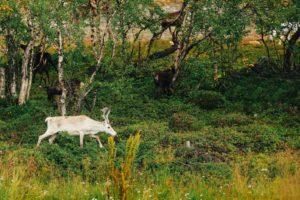 олень альбинос белый